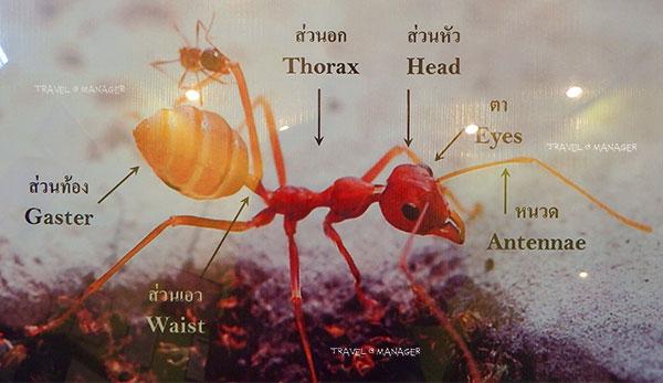 ความรู้เกี่ยวกับมด (Knowledge about Ants) 1