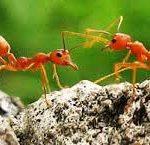 ความรู้เกี่ยวกับมด (Knowledge about Ants) 5