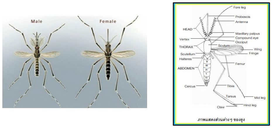 ยุง ส่วนอก (thorax)