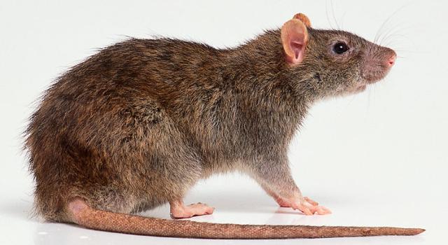 หนูนอร์เวย์ (Rattus Norvegicus)