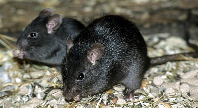 หนูท้องขาว (Rattus Rattus)