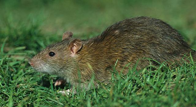หนูจี๊ด (Rattus Exulans)