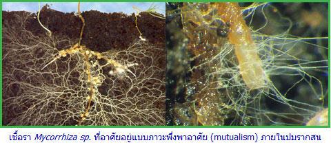 ความรู้เกี่ยวกับเชื้อรา (Knowledge about Fungus) 1