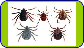 ความรู้เกี่ยวกับเห็บหมัด (Knowledge about Flea Tick) 2