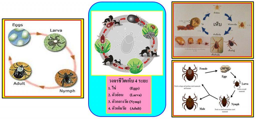 ความรู้เกี่ยวกับเห็บหมัด (Knowledge about Flea Tick) 3