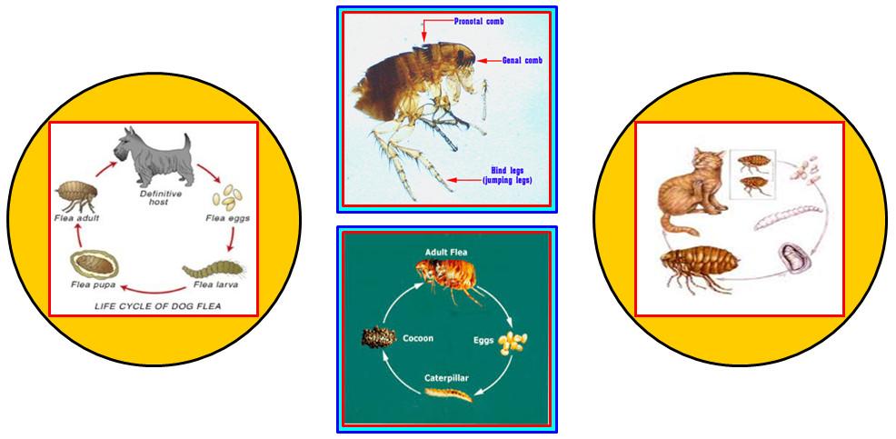 ความรู้เกี่ยวกับเห็บหมัด (Knowledge about Flea Tick) 4