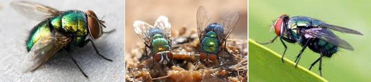 แมลงวันหัวเขียว