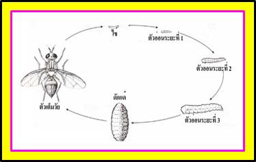 วัฏจักรแมลงวัน