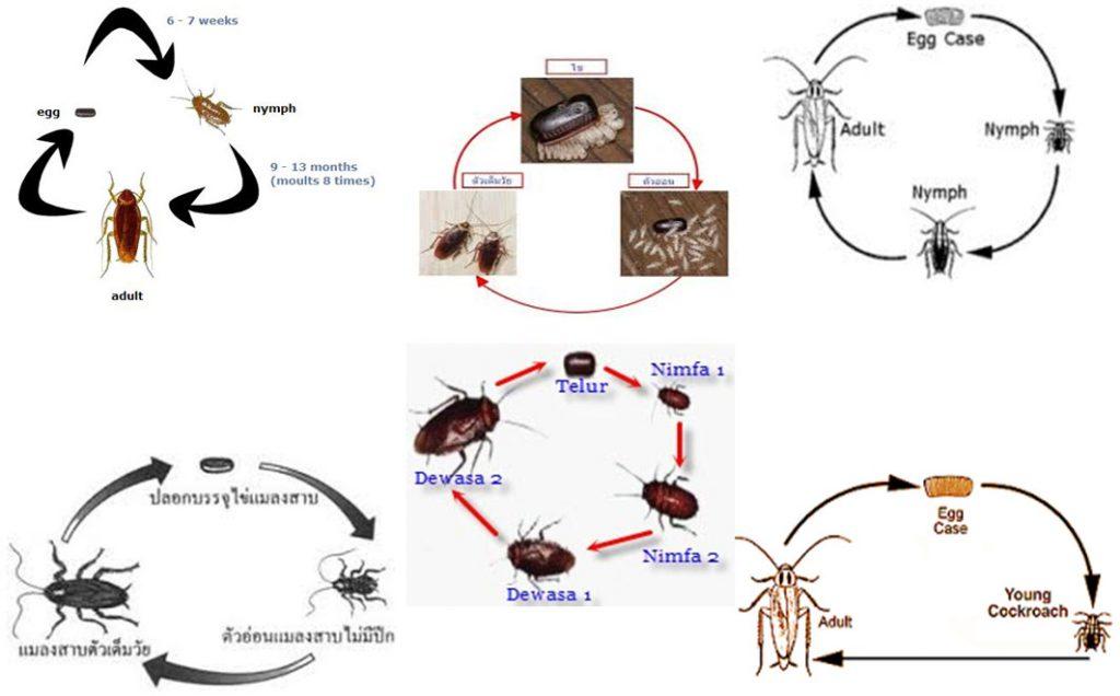 วัฏจักรแมลงสาบ