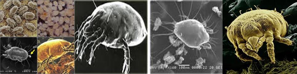 ความรู้เกี่ยวกับไรฝุ่น (Knowledge about Dust Mite) 2