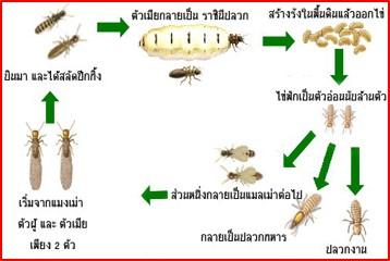 ความรู้เกี่ยวกับปลวก (Knowledge about Termites) 1