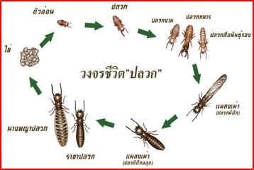 ความรู้เกี่ยวกับปลวก (Knowledge about Termites) 2