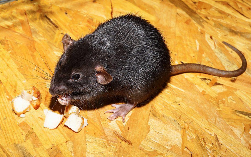 บริการกำจัดหนู (Rats Removal Services) 1