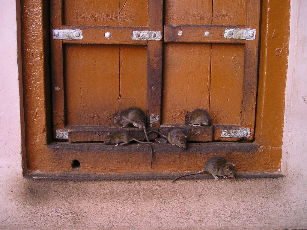 rat, india, rat temple