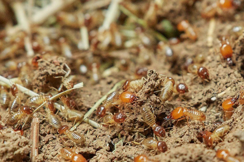 บริการกำจัดปลวก (Termites Services) 6